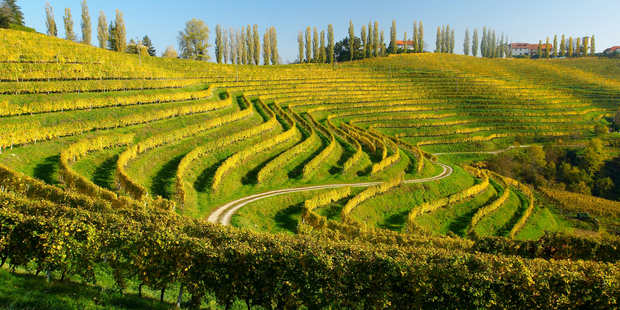 Vineyard in Slovenia. Photo / Thinkstock