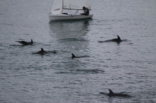 Dolphins in Thorns Bay on Auckland's North Shore. Photo / Warwick Jordan