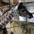 Christchurch's Orana Wildlife Park has welcomed the birth of a baby giraffe today. Photo / Supplied