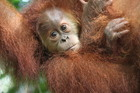 Orangutans will be among the residents of the new Chester Zoo. Photo / Supplied