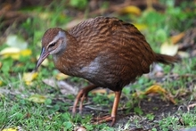 After a Weka was bowled by a car in Dunedin and killed, questions are being raised about a possible mystery population of the threatened native species. Photo / File