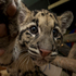 Haui-san, a 14-week-old clouded leopard, and his brother, in background lower left, make their public debut at the San Diego Zoo. Photo / AP