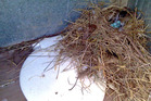 Dodgy bit of nesting in a rural long drop. Photo / Supplied
