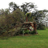 A tree is badly damaged after a tornado tore through west Auckland today. Photo / Supplied