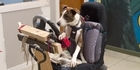 Watch: Teaching dogs to drive