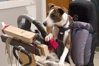 Over the past eight weeks the SPCA has been teaching three rescue dogs to drive.