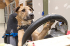 SPCA rescue dog Porter learning to drive. Photo /Supplied by SPCA