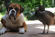 Romeo the dog with Juliette the duck rescued from a farm in Te Puke six weeks ago as a duckling. Photo / John Borren