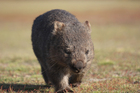 The southern hairy-nosed wombat is in a parlous state in the Murrayland region of South Australia, one of its main population areas. Photo / Thinkstock
