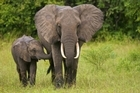 Biologist David Bowman believes the introduction of 'mega-herbivores' like elephants would control the African gamba grass which is choking the outback. Photo / Thinkstock
