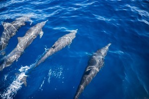 Authorities are investigating after jetskiers raced over a pod of dolphins. Photo / Thinkstock