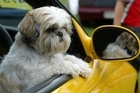 Dogs in the driver's seat can cause chaos if they become tangled in the steering wheel. Photo / NZ Herald
