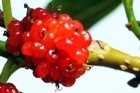 The mulberry is suited to sauces, jams and wines and is delicious eaten fresh. Photo / Supplied