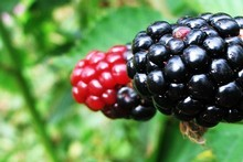 Eat the red berries and you'll suffer a puckered mouth. The blacker the berry, the sweeter it is. Photo / Meg Liptrot 