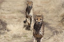 Cheetahs trying to overtake. Photo / Celia Driver
