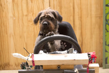 Monty the dog learns how to drive. Photo / Supplied