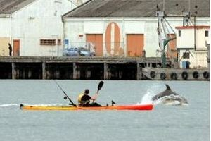 A pod of bottlenose dolphins plays and feeds in Otago Harbour yesterday near kayaker Paul Hannah. Photo / Otago Daily Times