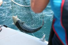 A fat kahawai comes to the net. Photo / Geoff Thomas