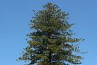 The Norfolk pine grows at 3 St Georges Bay Rd and could hamper future development. Photo / Chris Gorman