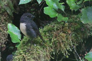 South Island robin. Photo / Jim Eagles