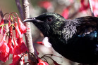 Birds have returned to Auckland's suburbs, as this tui feeding in Epsom shows. Photo / Glenn Jeffrey