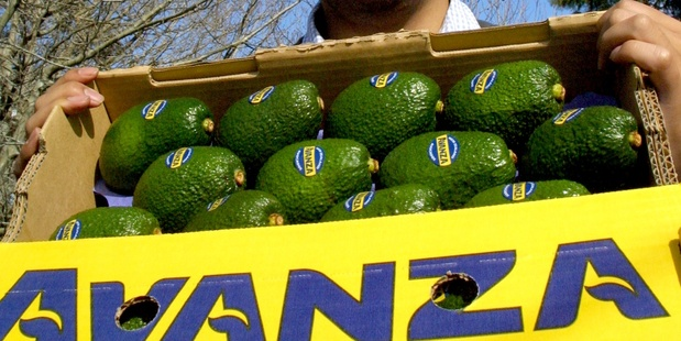 Avocado exporter AVANZA is one of the first kiwi companies to register under the Madrid Protocol. Photo / Bay of Plenty Times