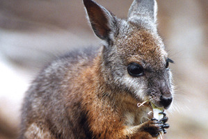Wallabies have been listed as unwanted organisms in the Biosecurity Act. Photo / Martin Sykes