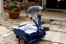 Pepper the African grey parrot. Image / Supplied
