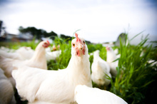 Are your eggs really from happy hens? Photo / Thinkstock