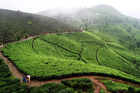 Take to the tea estates of Darjeeling, India. Photo / Thinkstock