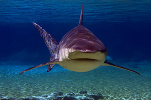 A bull shark. Photo / File / Thinkstock