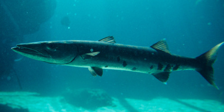 Barratt said barracuda would be among the fish sold to the new customers. Photo / Thinkstock