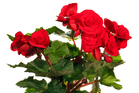 Begonias bloom in the perfect colours for the festive season. Photo / Thinkstock
