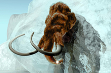 8. Frozen for thousands of years, the extinct woolly mammoth could make a reappearance thanks to clever work reassembling its DNA.