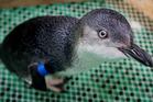 A little blue penguin. Photo / File / Mark McKeown