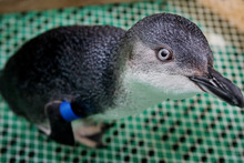 A little blue penguin. Photo / File / Mark McKeown