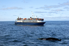 The Whale Alerts app tries to prevent ships from colliding with whales. Photo / Thinkstock