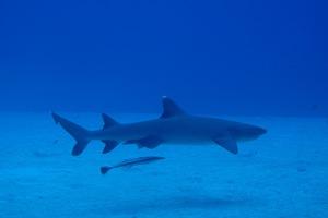 A white tip reef shark swimming off the coast of Rarotonga. Photo / Shaun Gilmour