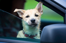 Dogs need plenty of water and shade in the warmer months, and become distressed if left locked in hot cars. Photo / File / Thinkstock