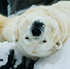 Lyutyik, one of two polar bears at the Alaska Zoo in Anchorage, Alaska, rolls in snow and yawns in his enclosure. Photo / AP