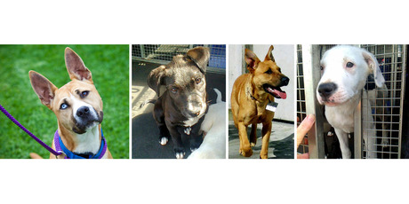 For rescue: Strider, a 9-month-old male akita-heeler cross; Brandi, a 7-month-old shepherd cross; Snoopy, a 4-month-old male labrador cross; and Pudding, a 4-month-old female labrador cross.