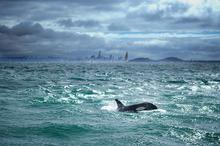 The orcas surrounded a boat near Motuihe Island. Photo / Craig Harman