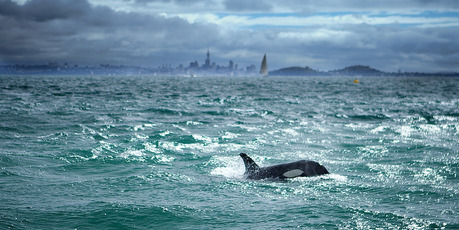 The orcas surrounded a boat near Motuihe Island. Photo / Craig Harman