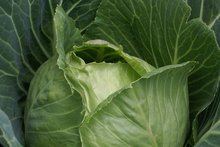 Cruciferous veges like cabbage and cauli don't need an excess of nitrogen. Photo / Supplied