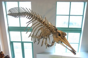 The True's beaked whale (skeleton seen above) is one of the rarest whale species. Photo / Supplied