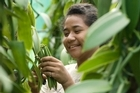 Lucy picking beans on Heilala Vanilla's plantation on Vava'u Island in Tonga. Photo / Supplied