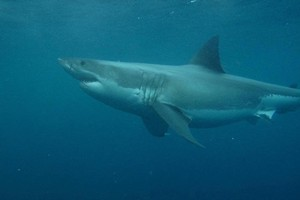 Shark bites are often defensive or a result of curiosity, says Australian researcher Christopher Neff. Photo / Supplied
