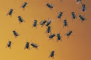 Flies are attracted to food scraps in homes and also to humans' sweaty hands. Photo / Thinkstock