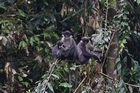 The langurs in Borneo. Photo / Supplied