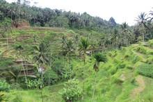Rice paddies in Bali, Indonesia. Photo / Mauricio Olmedo-Perez